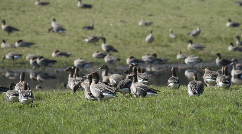 Kā pieteikties īpaši aizsargājamo nemedījamo vai migrējošo sugu postījumu kompensācijām?