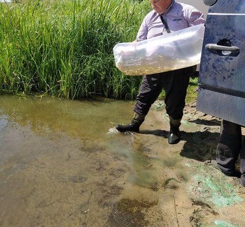 Zivju mazuļu ielaišana Koša ezerā